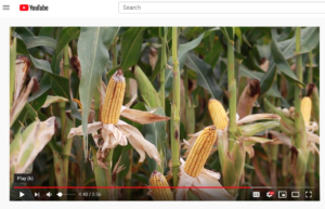 Stock video corn in Matty D Media video production